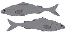 2-black-cod