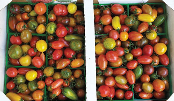 This box of assorted Baia Nicchia cherry tomatoes includes both released varieties and some still in development. (Photo courtesy of Baia Nicchia)