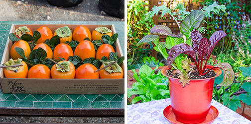 Gift ideas from Blue Egg Farm include produce boxes and a pot with organic Rainbow Chard, Russian Frills Kale, Purple Osaka Mustard, and Red Oak Leaf Lettuce.Photos courtesy of Blue Egg Farm.