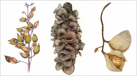 A new exhibit of botanical art depicting seed pods is on display at the UC Botanical Garden.