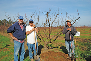 Dr. Frankie and two of Al's workers install bee plants at the end of orchard rows.  (Photo courtesy of UCB Urban Bee Lab)