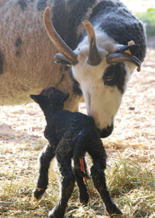 Athena, a five-year-old Jacob ewe, nudges her newborn a few minutes after birth. (Photos courtesy of Robin Lynde)