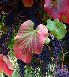 fall-grapes-merritt-clg-plant-sale-sm