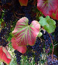 fall-grapes-merritt-clg-plant-sale-sm