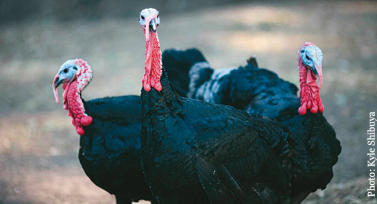 Black Spanish turkey toms are among the cast of characters you can get to know at Grabishfarm.