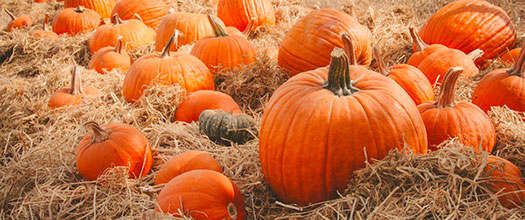 Pick out your own pumpkin as you explore the farms at the Sunol AgPark. Photo: Julia Paras