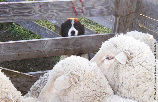 Watch sheepdogs exhibit their impressive skills at the McCormack Ranch.
