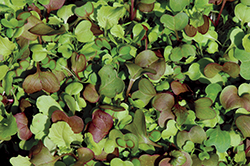 Micro-greens(Jim Ryugo credit) (1)