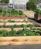 Food is growing in abundance at Hayward's Paradise Community Garden. Photo courtesy of Audrey Lieberworth.