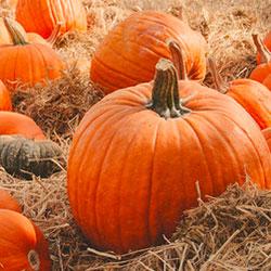 pumpkins-sunol