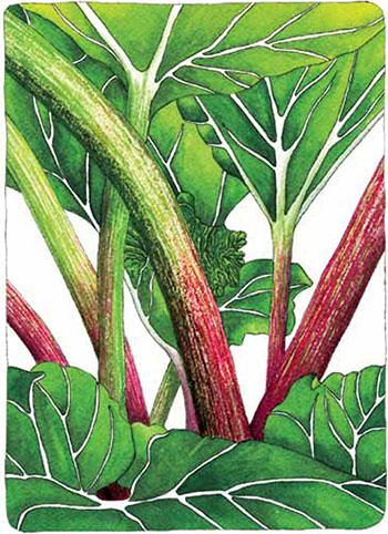 Rhubarb-4
