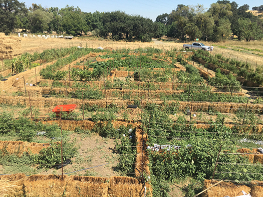 Sameer Tyagi's tomato maze at Soul Food Farm symbolizes a commitment to preserve heirloom seeds.