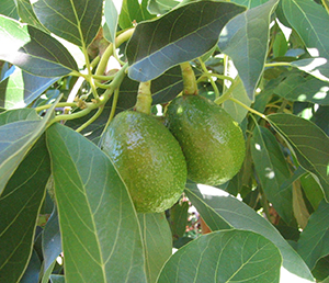 Avocado Growing Images