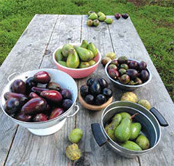 Fruits from five of Bruce Beernick's varieties