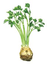 Celery root by Helen Krayenhoff