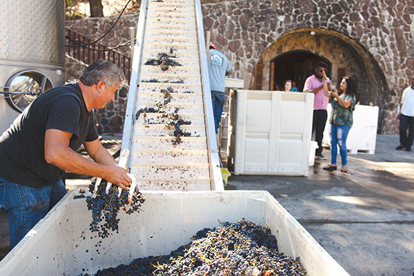 At the Maldonado wine cave, cellar assistant Guillermo Hernando moves just-harvested grapes into production. Photo by Vic Pantaleon