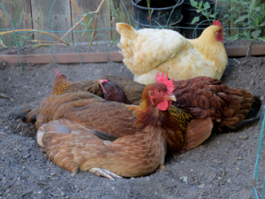 Backyard chickens, like these that live with Edible East Bay writer Jessica Prentice, have the good life, but their commercially raised sisters haven't been so lucky. New state legislation in California increases required cage size for the birds laying our breakfast eggs in state as well as for those in other states whose eggs are sold here. (Photo by Foster Wiley)