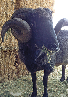 Handsome Kingston is the ram of a flock of Navajo Churros kept by the Yolo Wool Mill in Woodland. Brought over by the conquistadors, Navajo Churros are the first breed of sheep to arrive in the Americas. The vintage breed goes with the mill's vintage machinery, which dates from the 1920s through the 50s. Watch for open houses and events at yolowoolmill.com. Author Jillian Steinberger wants to marry this sheep.