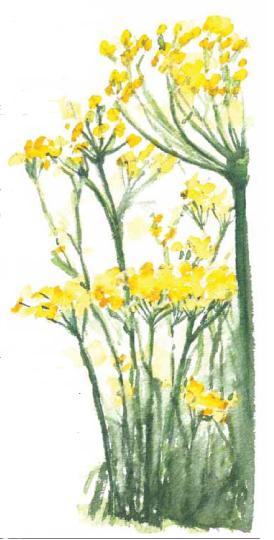 fennelflowers