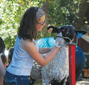 When county fair time nears each summer, kids across the nation who participate in 4-H livestock programs are preparing for a really big day. Here, Emma Najarian, 12, gives her ewe, Amelia, a good washing prior to shearing. Kids of all ages get direct experience caring for livestock animals in regional 4-H groups throughout the East Bay. Find your group at 4-h.org. (Photo courtesy of Laura Lorenz, a 4-H mom)
