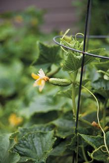 gardentotable-cukes