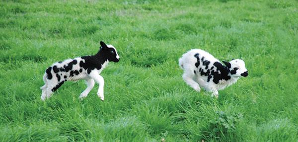 Jacob lambs cavort through spring pasture. at Meridian Jacobs Farm near Vacaville.