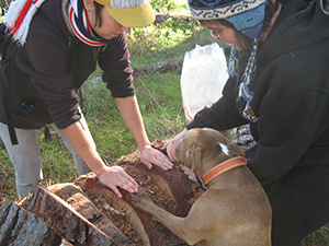 Issa (canine companion of Mino de Angelis) watches Monica Neff (right) inoculate logs at the Orinda mycoforestry project. (Photo by Joe Soeller)