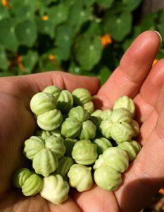 nasturtium-seeds