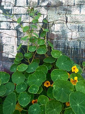nasturtiums-climbing