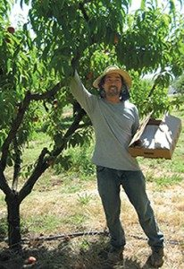 Welling Tom picks peaches at Brookside Farm. (Photo by Helen Krayenhoff)