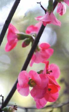 quinceflowers