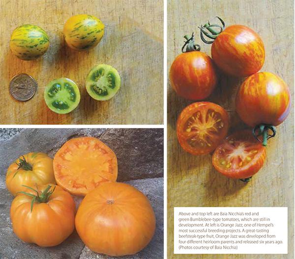 tomato-selection