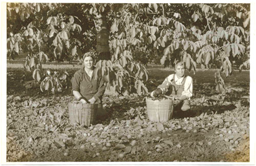 Women harvesting walnuts during WWII. Photographs courtesy of Forest Home Farms