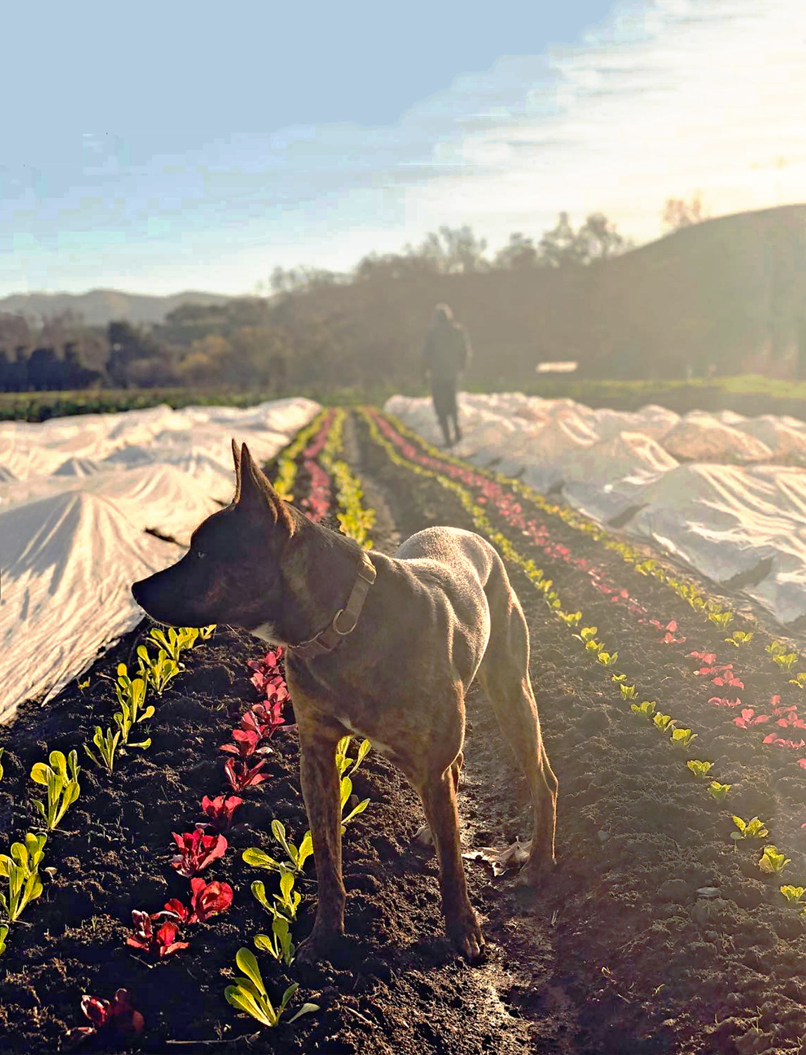 Roux guards the baby lettuces.